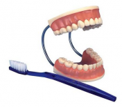 Giant Dental Care Model, 3 times life size