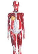Human Anatomy Model (Male)