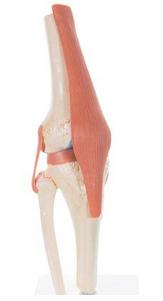 Deluxe Functional Knee Joint Model
