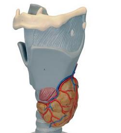 Functional Larynx Model, 2.5 times full-size