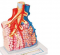 Pulmonary Lobule with Surrounding Blood Vessels